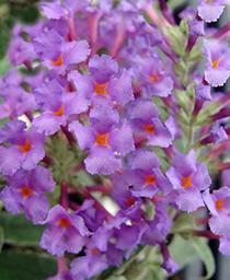 Butterfly Bush Nanho Blue   - Buddleia davidii -  lg pot